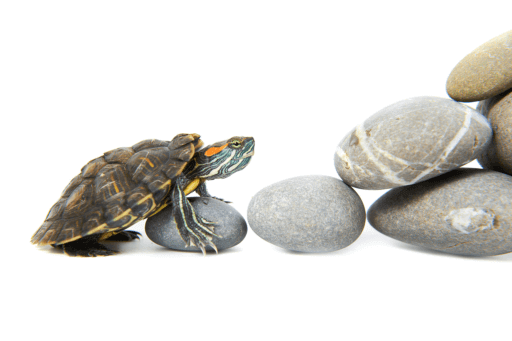 turtle-climbing-rocks